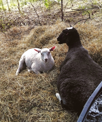 kenkäveron lampaat